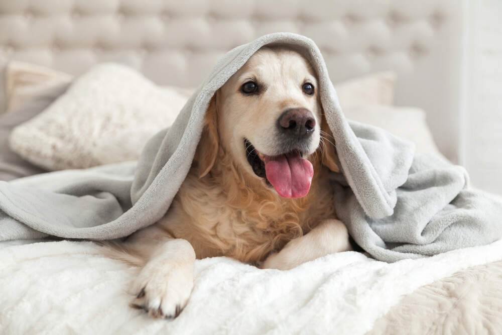Unfortunately, a dog who has fleas can bring fleas into your bed too.