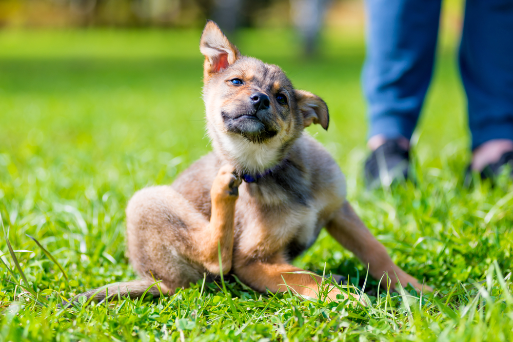 Knowing what a flea bite or infestation looks like is essential to the health of your dog.